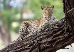 Leopard Watching