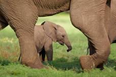 elephant_calf