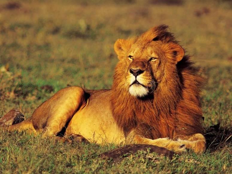 ngorongoro-crater-lion