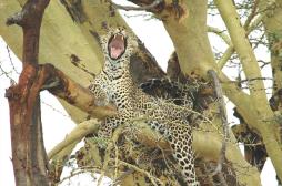 Yawning Cheeter