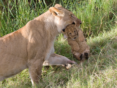 Lioness carrying her cub