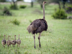 Emu and ducklings