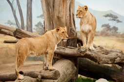 two_lions_193753
