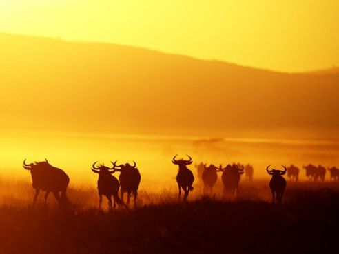 Wildebeest-Migration-pic