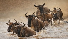 wildebeests-in-Serengeti