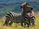 zebras-fighting-in-the-ngorongoro-crater-tanzania
